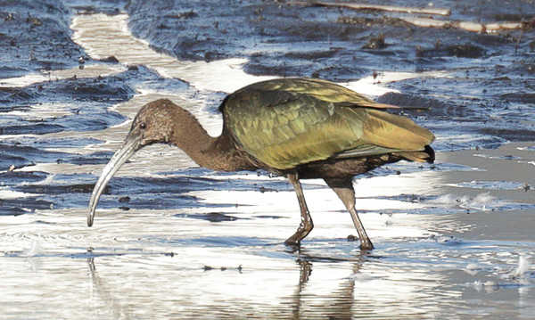 2015 White-faced Ibis - Pingree Grove, IL