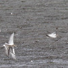 White-rumped Sandpipers taking off . Pectoral still on the ground.