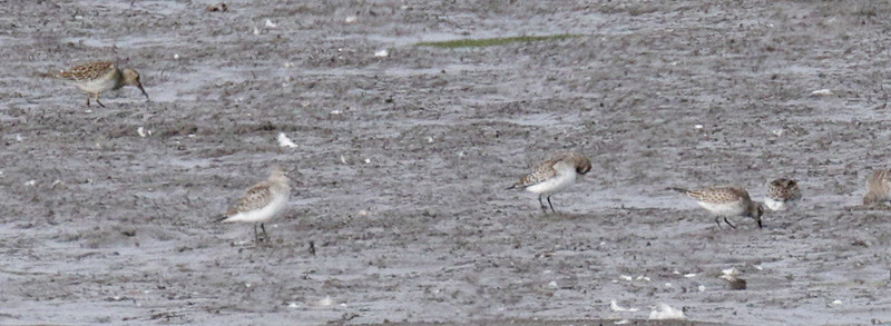 2015 White-rumped Sandpipers - American Way Marsh