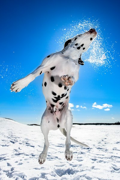 Dogs at Play 3rd Place Winner, Daniel Nygaard, Sweden