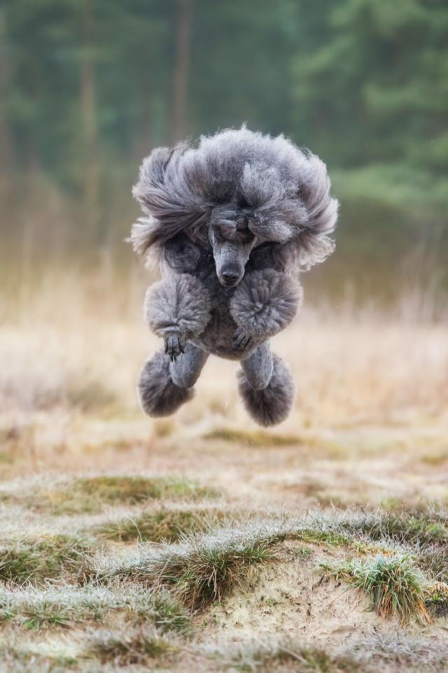 Judges Mention, Dogs at Play, Femke Puijman, Netherlands