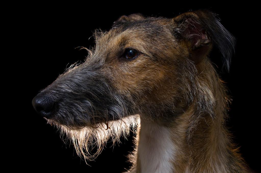 Judges Mention, Dog Portrait, Alistair Cox, UK