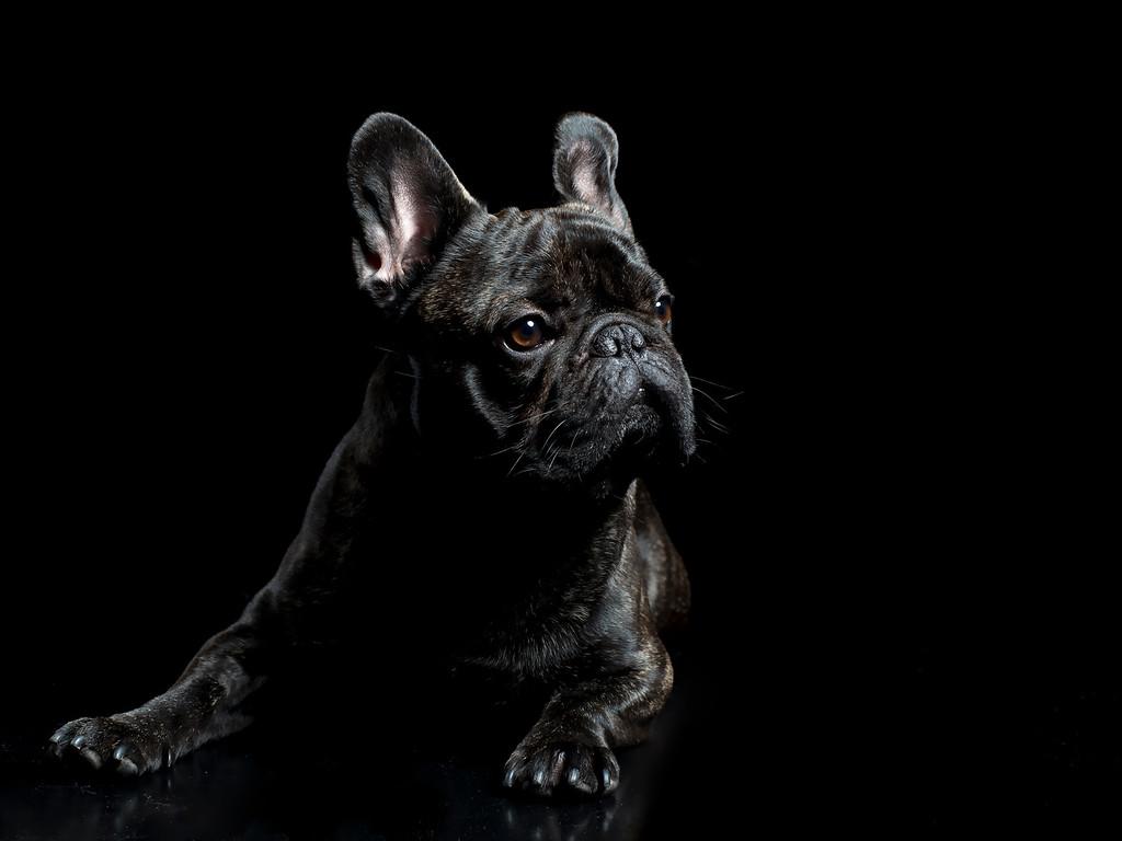 Judges Mention, Dog Portrait, Marie de Verdier Persson, Sweden
