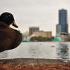 Orlando duck