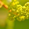 Baby grapes. Barnhart MO