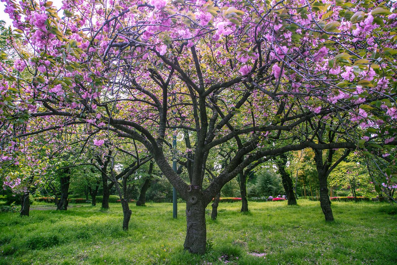 Cherry Tree in Japan