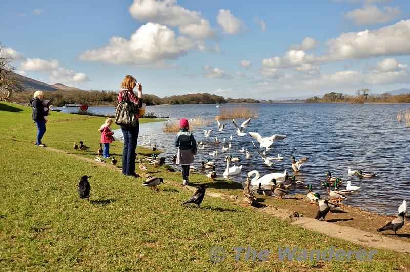 Feeding the ducks. Ross Castle, Killarney. Fri 13.03.15