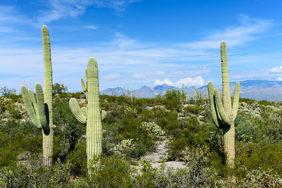 "It's easy to see ""scenes"" in saguaro. Maybe the two on the left are in a fight and the one on the right is cheering."