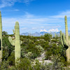 """It's easy to see """"scenes"""" in saguaro. Maybe the two on the left are in a fight and the one on the right is cheering."""