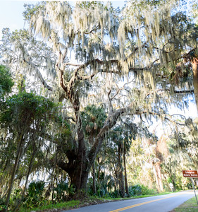 Massive live oak tree