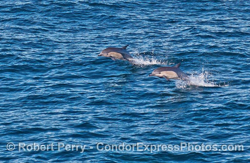Delphinus delphis 2015 01-02 SB Channel-a-024