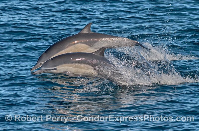 Delphinus delphis 2015 01-02 SB Channel-009