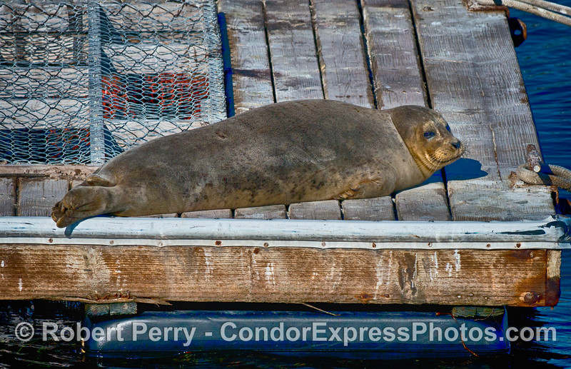Phoca vitulina on bait barge 2015 01-02 SB Harbor-002