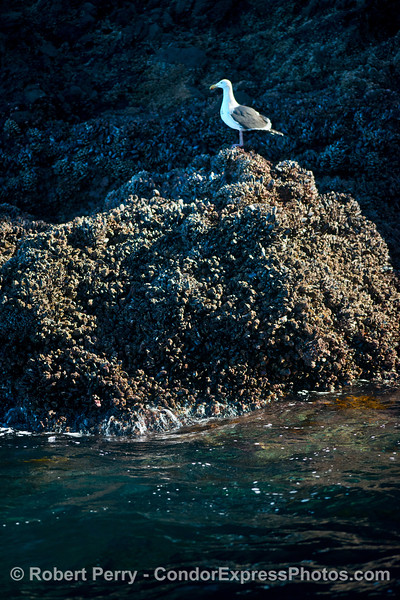 Larus occidentalis on intertidal rock 2015 01-02 SB Channel-007