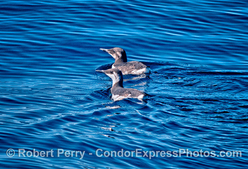 A pair of common murres swim together across the surface