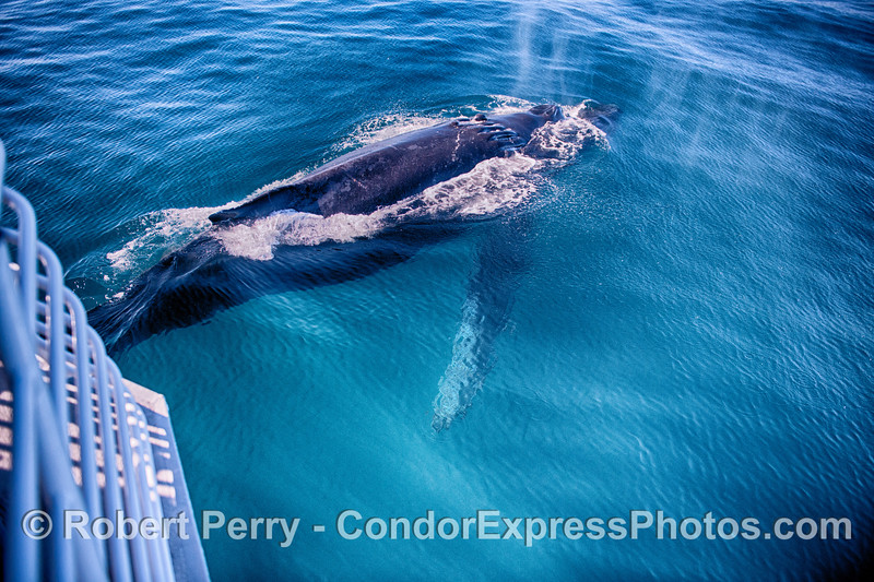 Scarlet the humpback whale rises to the surface of the blue water to spout