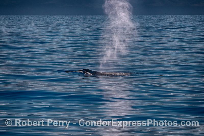 Wisps of smoke - a spouting humpback whale with calm seas and Santa Cruz Island in back.