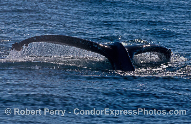 A low profile humpback whale tail