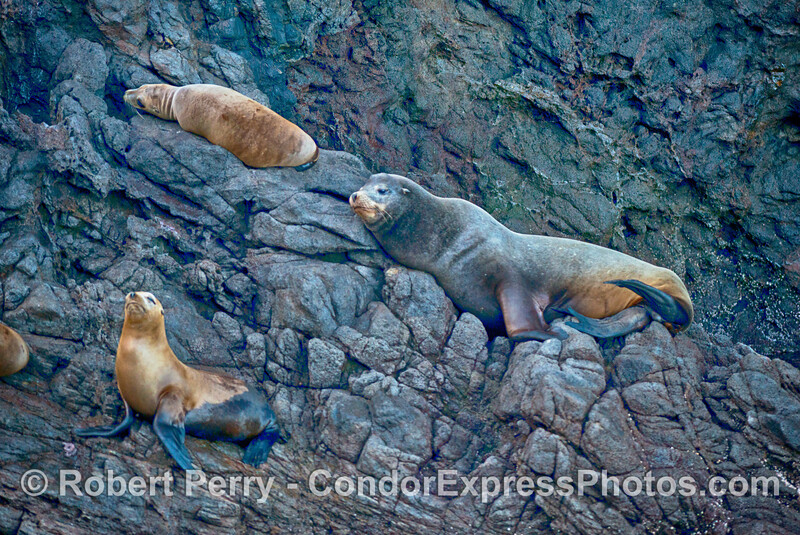 A large juvenile bull Californis sea lion and a couple of females are shown resting on the sea cliffs inside the Painted Cave on Santa Cruz Island