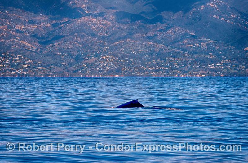 Santa Barbara is seen behind a humpback whale in the Santa Barbara Channel