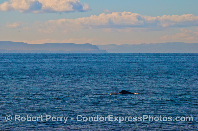 Sant Cruz and Santa Rosa Island are seen across the Channel as a humpback whale swims by