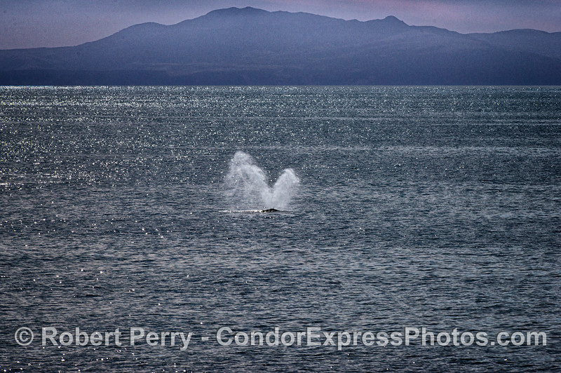 Humpback whale spout with Santa Cruz Island in back
