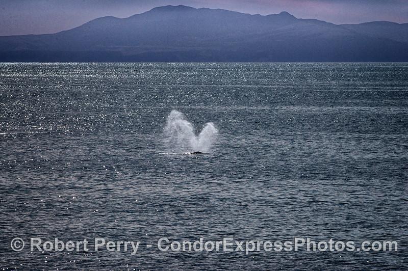 Humpback whale spout with Santa Cruz Island in back