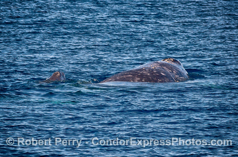 Mother and newborn calf gray whales.