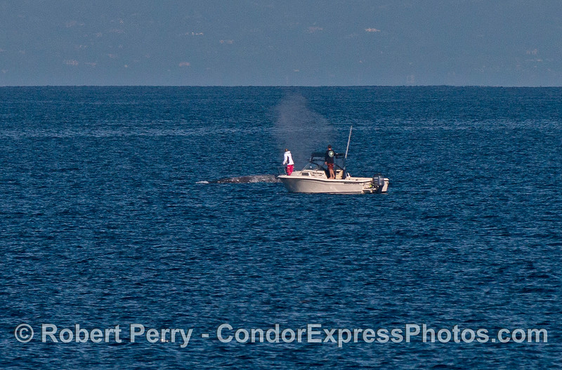 A small boat gets a bit too close to a gray whale