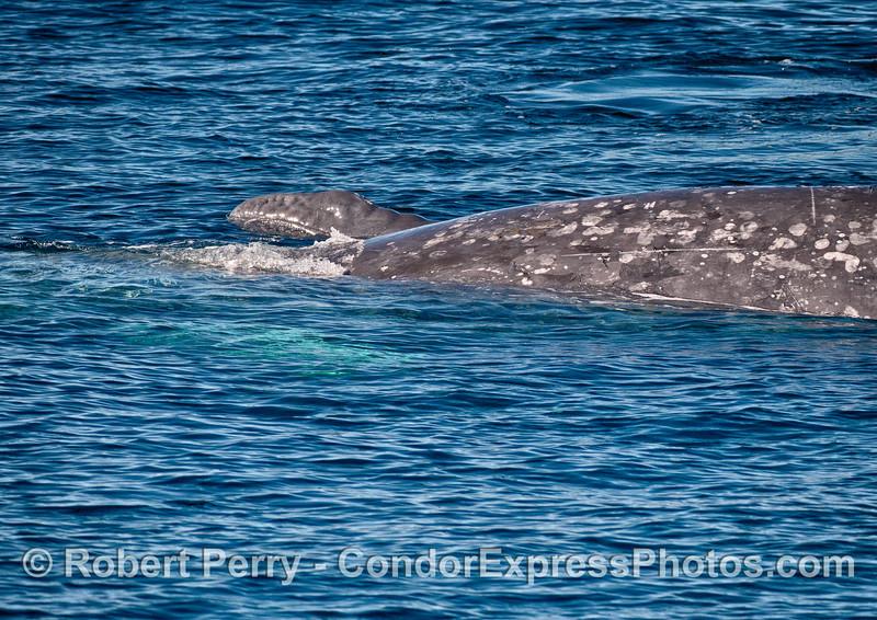 Newborn gray whale calf swims alongside its mother.