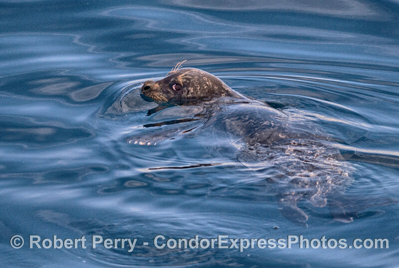 A Pacific harbor seal seen swimming in the middle of the Santa Barbara Channel