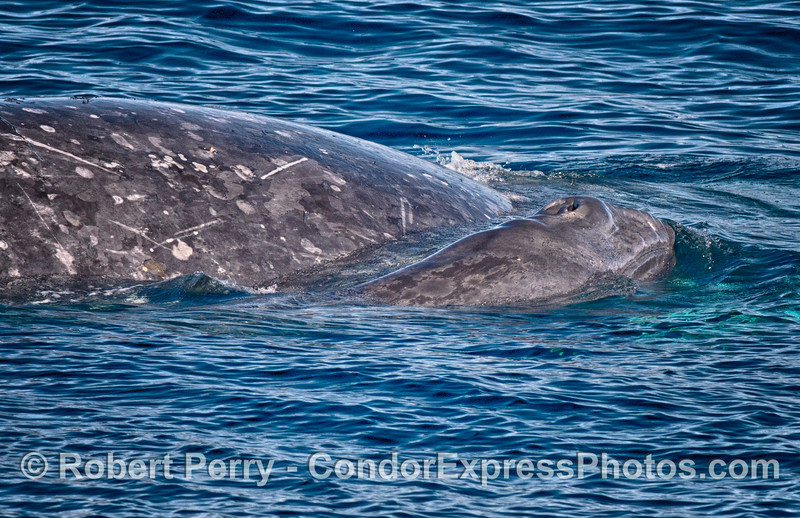 Newborn gray whale calf and mother