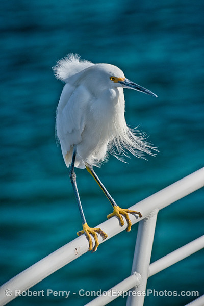 Snowy egret on the handrail of the Condor Express