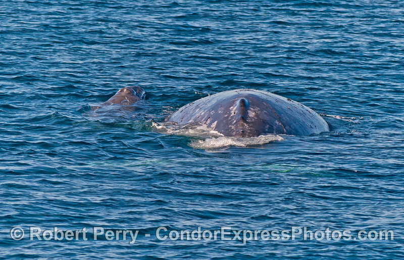 Mom and calf gray whales