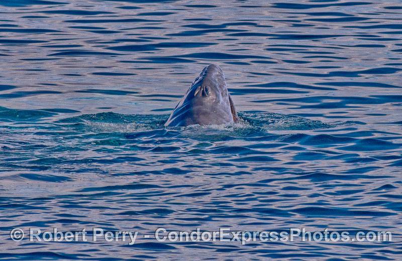Newborn gray whale calf spy hops