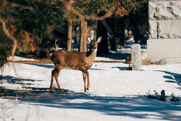 2015-01-31 - Cemetery Deer