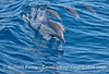 Another leaping long-beaked common dolphin.