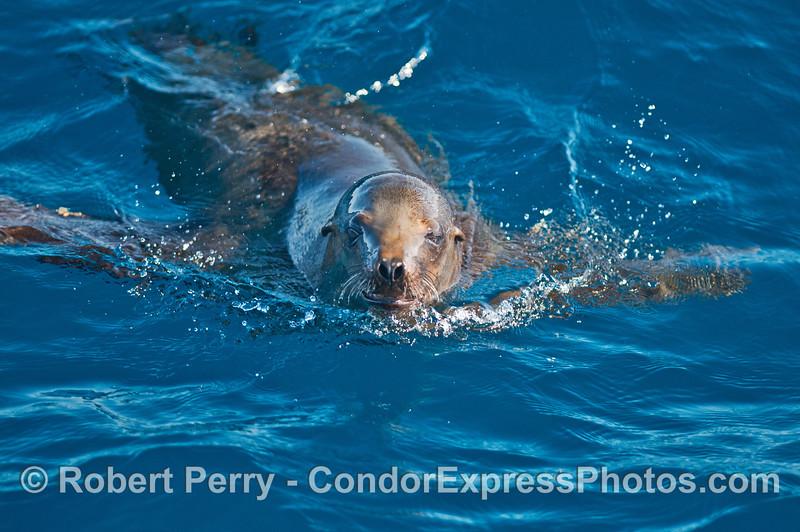 California sea lion.