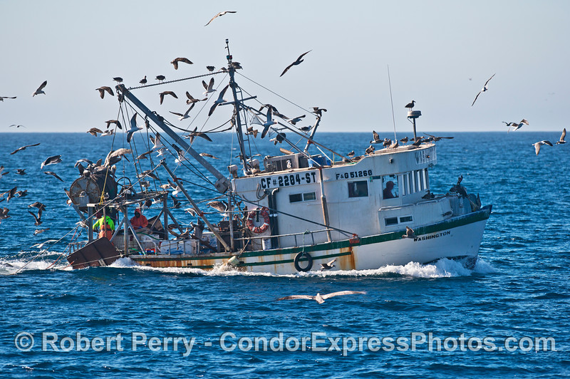 "Bottom trawler ""Washington"" and bird masses feeding on bycatch."