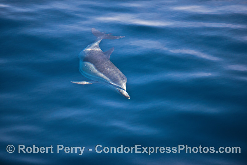A curious long-beaked common dolphin is shown in clear blue water.