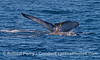 This humpback whale dragged a single giant kelp streamer around on its tail for at least 3 diving cycles.
