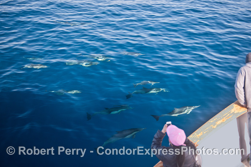 An iPhone photographer gets great looks at a pod of long-beaked common dolphins.