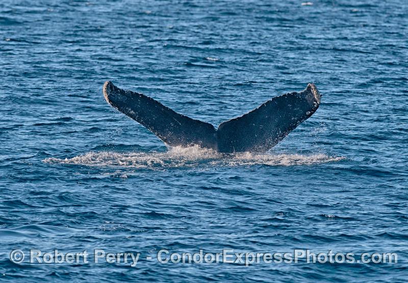 Humpback tail flukes.