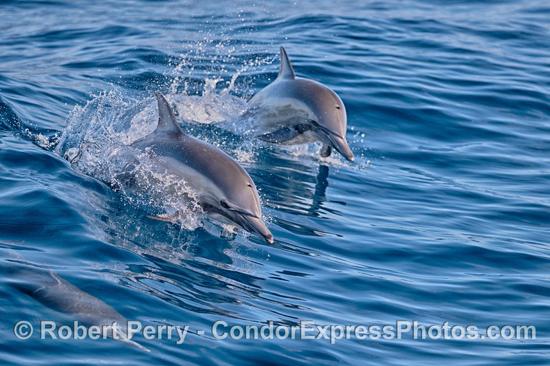 Two long-beaked common dolphins leap side by side.