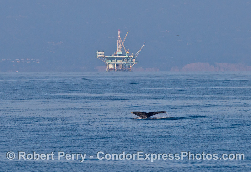 "A humpback whale tail with offshore oil platform ""A"" in the background."