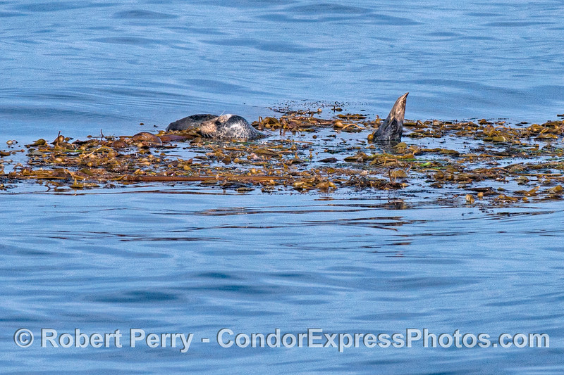 Image 1 of 2:  A Pacific harbor seal finds refuge in a drifting giant kelp paddy in the middle of the Santa Barbara Channel.