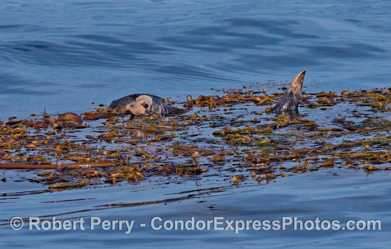 Image 2 of 2:  A Pacific harbor seal finds refuge in a drifting giant kelp paddy in the middle of the Santa Barbara Channel.