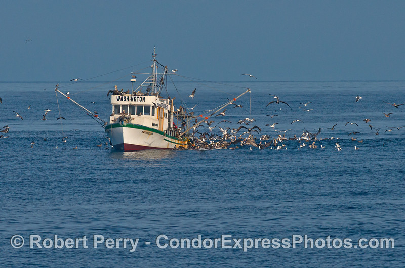 Sea birds feast on the discarded fish as a bottom trawler (drag boat) cleans the bycatch out of the net.