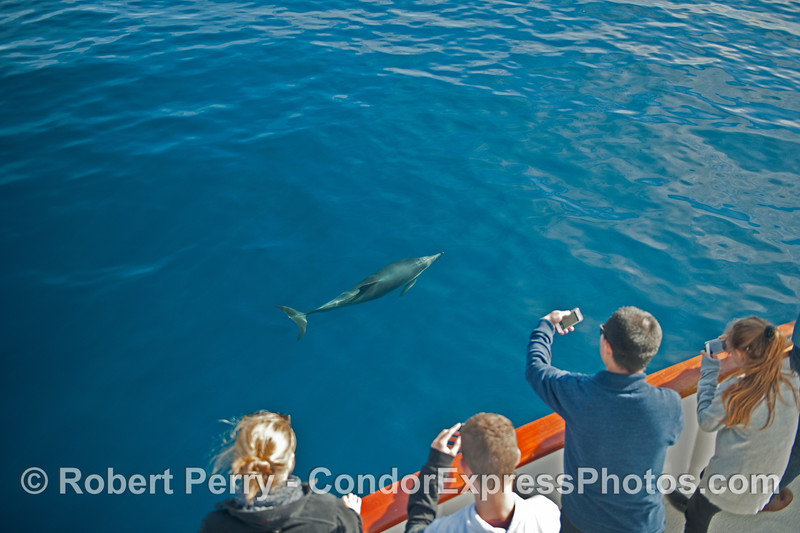 Lots of nice photo opps when the common dolphins visit the boat in clear blue water.