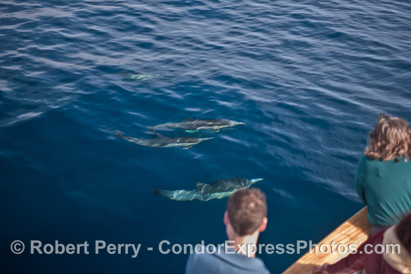 Friendly long-beaked common dolphins.